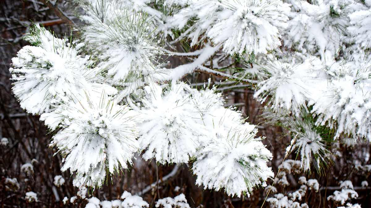 First snow on pine boughs