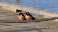 • Barn Swallows
